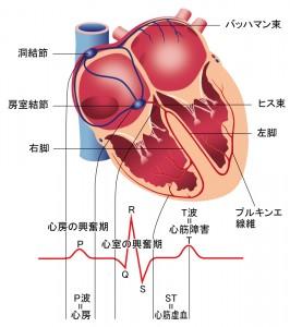 心臓と刺激伝導系 - 刺激伝導系