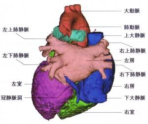 心臓と刺激伝導系 - 心臓の後面像